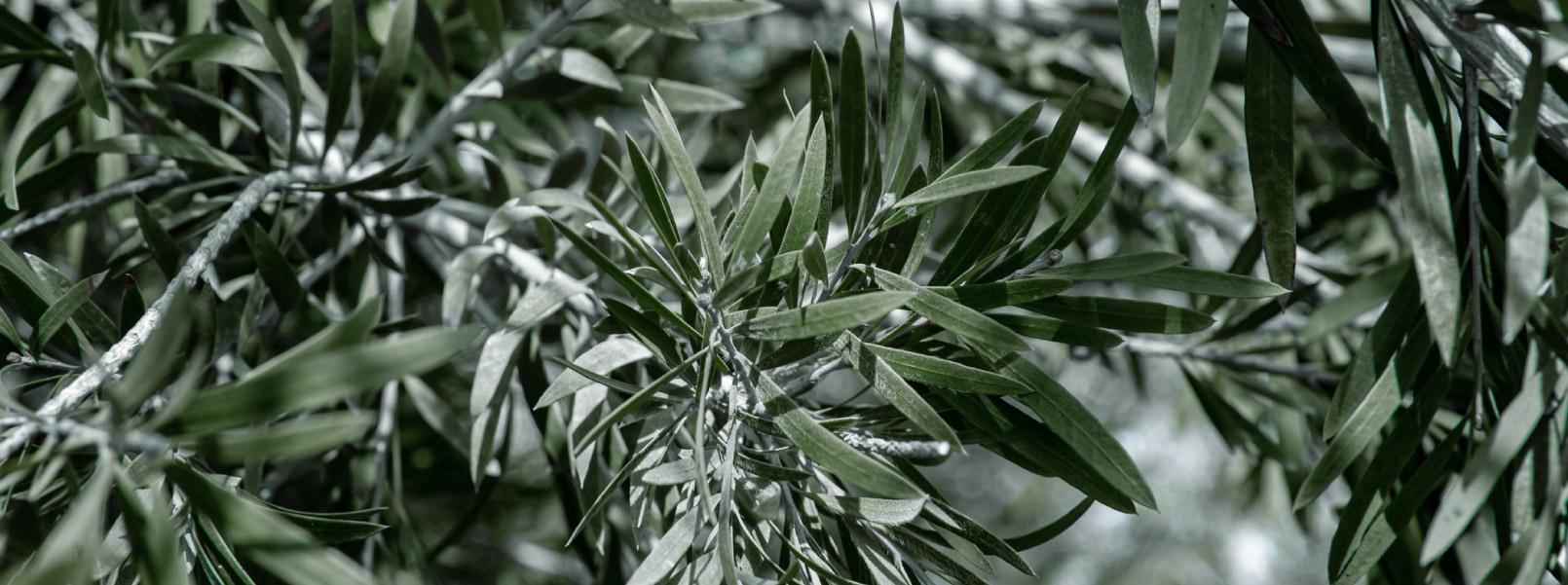 Olivos de Aceites Echinac